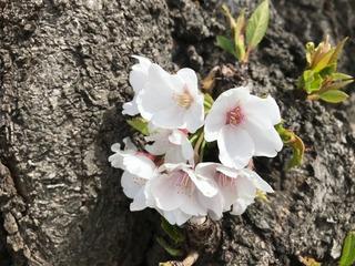 花見2019.4.5-5.jpg